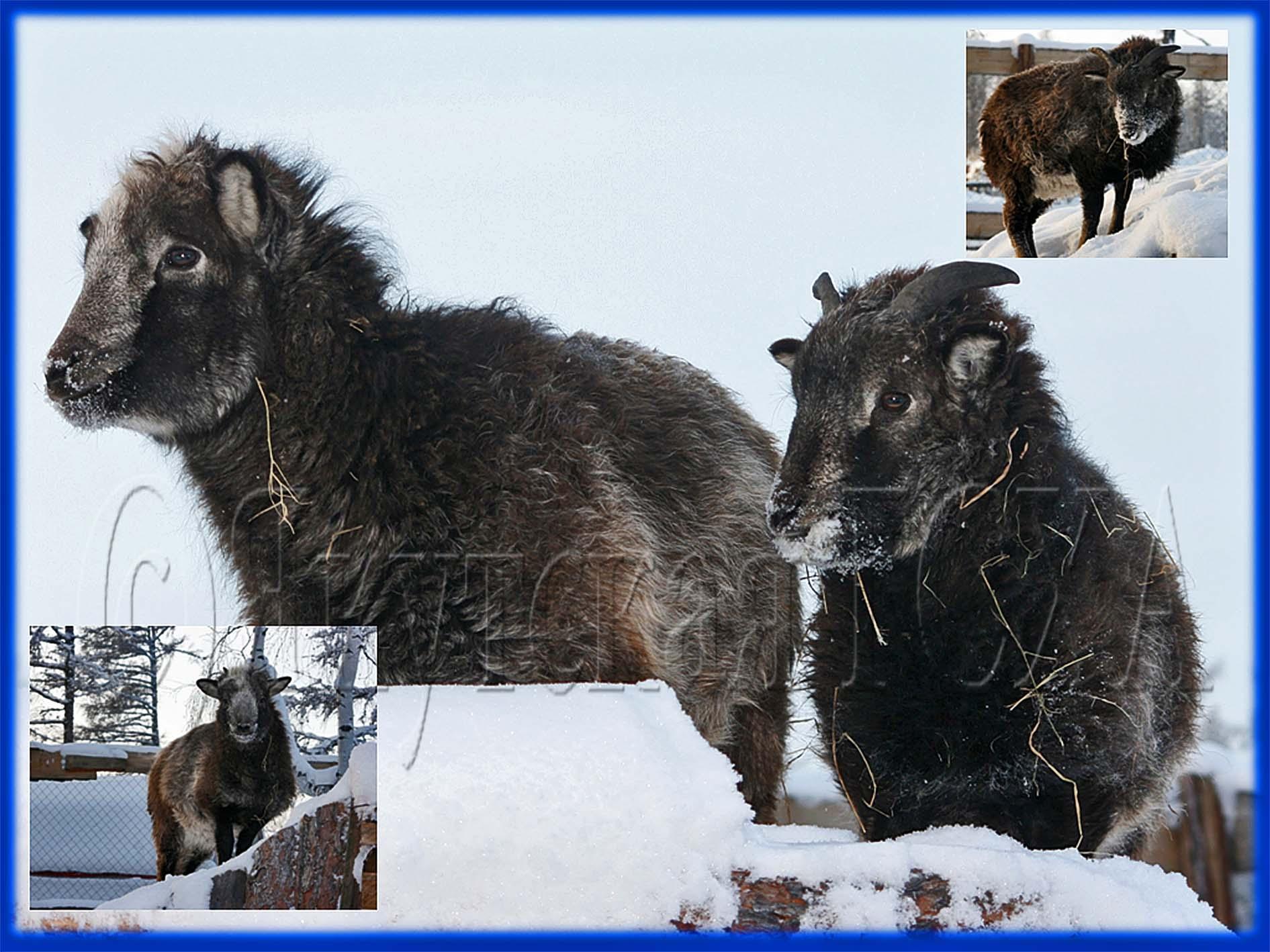 Якутские ученые вывели гибрид овцы и дикого барана