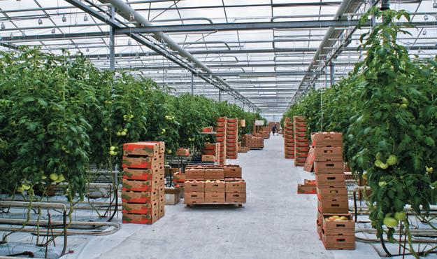 В Краснодарском крае введен в эксплуатацию 2-й пусковой комплекс крупнейшего тепличного комбината по выращиванию овощей