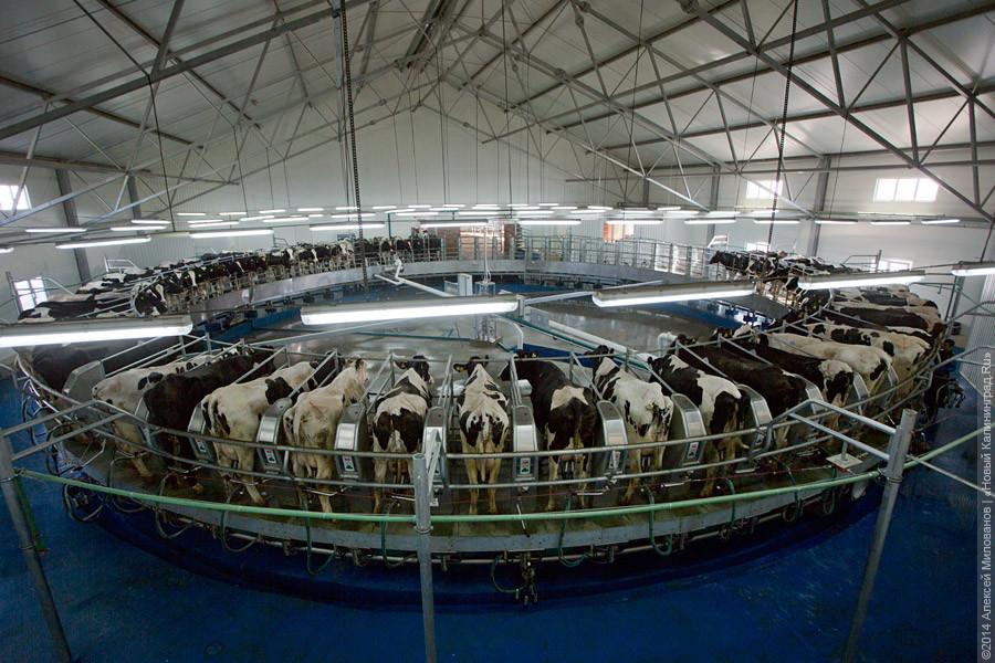 Крупный молочный комплекс открылся в Калининградской области
