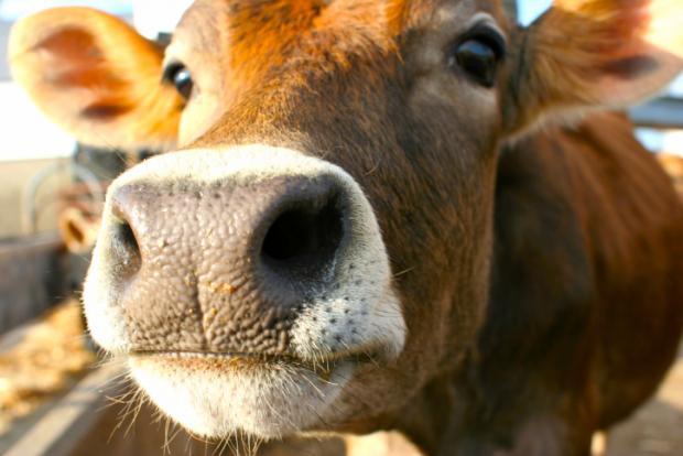 В Липецкой области открыт молочный комплекс на 500 голов