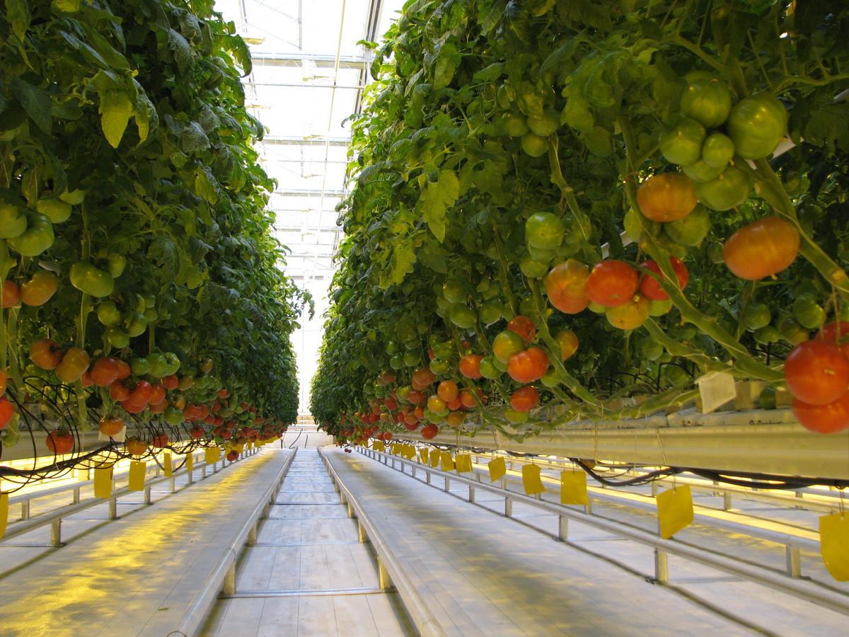 В Ростовской области заработал тепличный комплекс стоимостью 1,8 млрд руб.