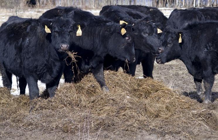 В Брянской области запущен крупнейший в РФ комплекс по переработке говядины