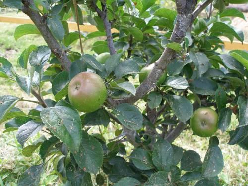 В Калининградской области появился четвертый промышленный яблоневый сад
