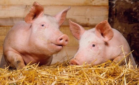 В Тверской области запущен крупный свиноводческий комплекс