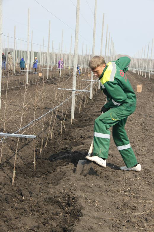 Яблоневый сад на площади 20 гектаров заложен Белгородской области