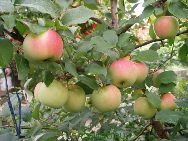 В Краснодарском крае заложены яблоневые и сливовые сады
