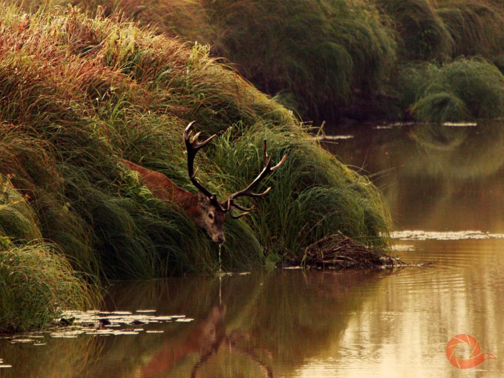 Олень на озере
