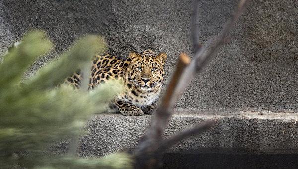 Численность дальневосточного леопарда увеличилась более чем вдвое за 5 лет