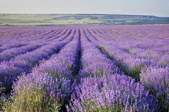 В Крыму обновлены плантации лаванды - высажено около 2 млн саженцев