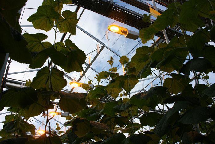 Эксперимент покруглогодичному выращиванию овощей запущен на Урале