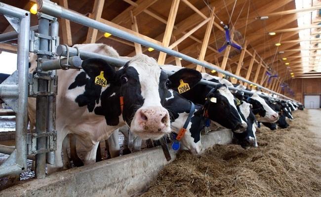 На ферму в Тюменской области прибыли 600 коров голштино-фризской породы из Голландии