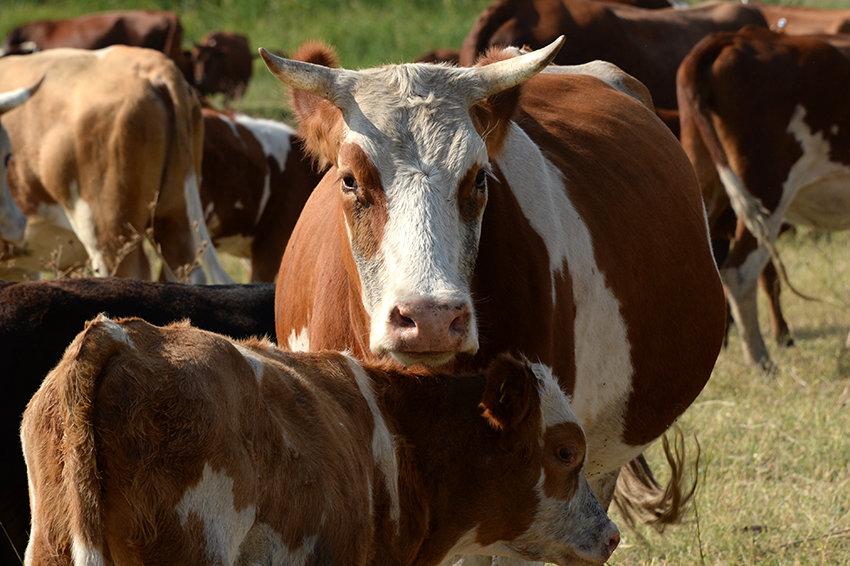 Житель Ростова-на-Дону придумал электронный ошейник для коров