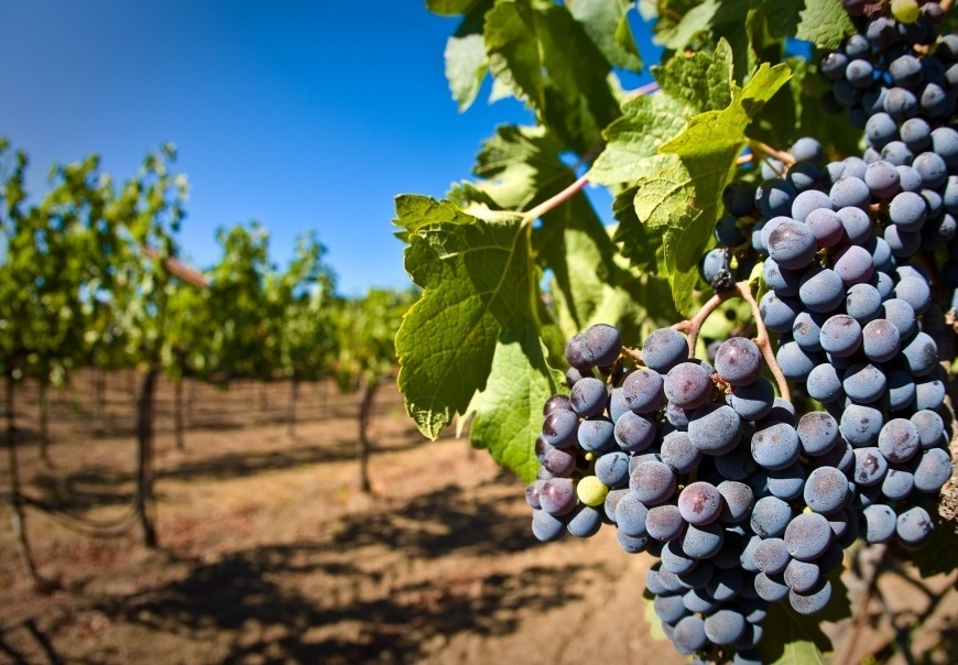 В республике Дагестан заложено свыше 570 гектаров новых виноградников