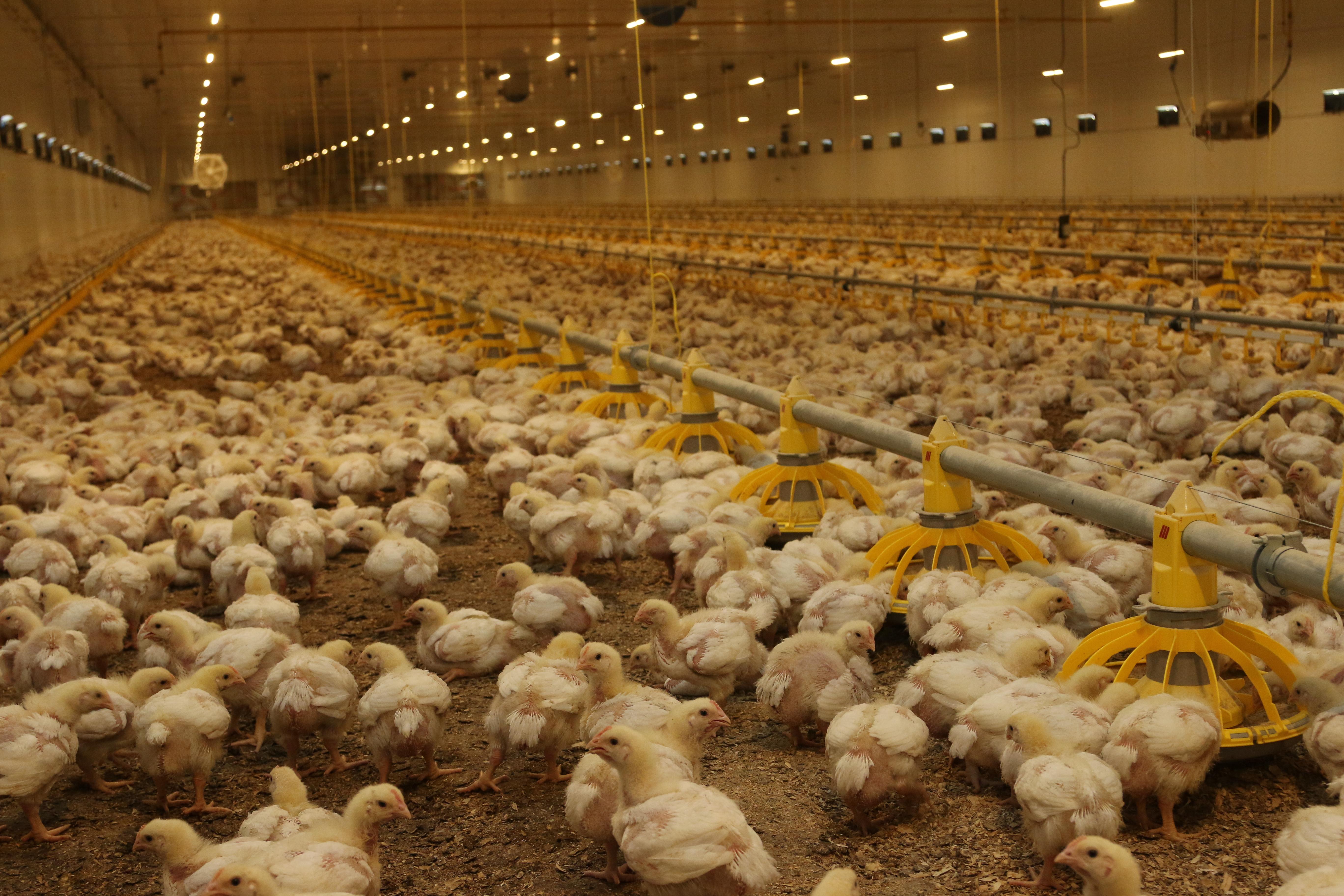 В Московской области наращивают производство мяса птицы