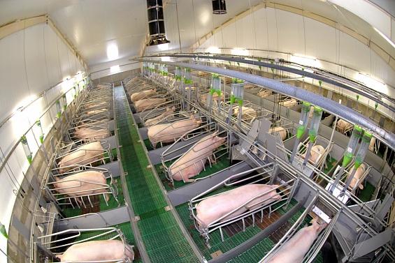 В Тверской области открыли новый свинокомплекс