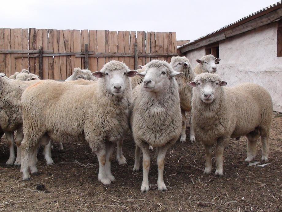 Астраханские фермеры реализовали более 7 тысяч голов овец в Грузию