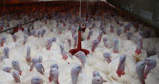 Производство мяса индейки открыли в Липецкой области