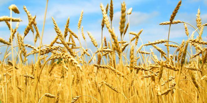 Ученые Удмуртии вывели новый сорт озимой пшеницы