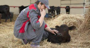 В Калининградской области «Мираторг» наращивает собственную численность поголовья рогатого скота