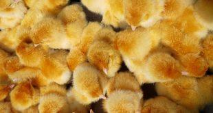 Производство цыплят-бройлеров началось на птицефабрике в Южно-Сахалинске