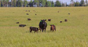 «Мираторг» продолжает увеличивать поголовье скота