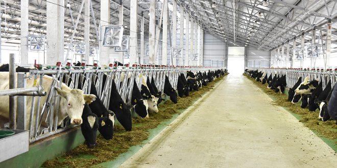Новый молочный комплекс на 2000 коров открылся в Белгородской области