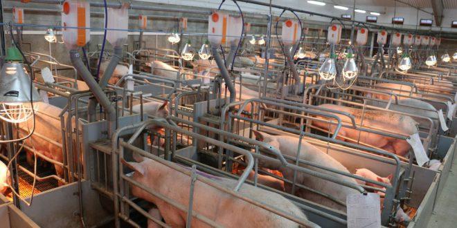 Новый свинокомплекс запущен в Курской области