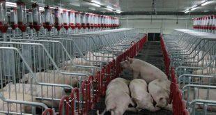 Производство свинины началось в Приморье