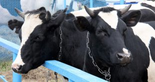 В Чувашии запущен животноводческий комплекс на 430 голов