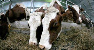 В Коми роботизированная молочная ферма введена вэксплуатацию